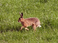 A hare in the next field